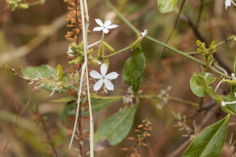 Bloemen van het Grafietzeylanica van Ceylon leadwort stock foto