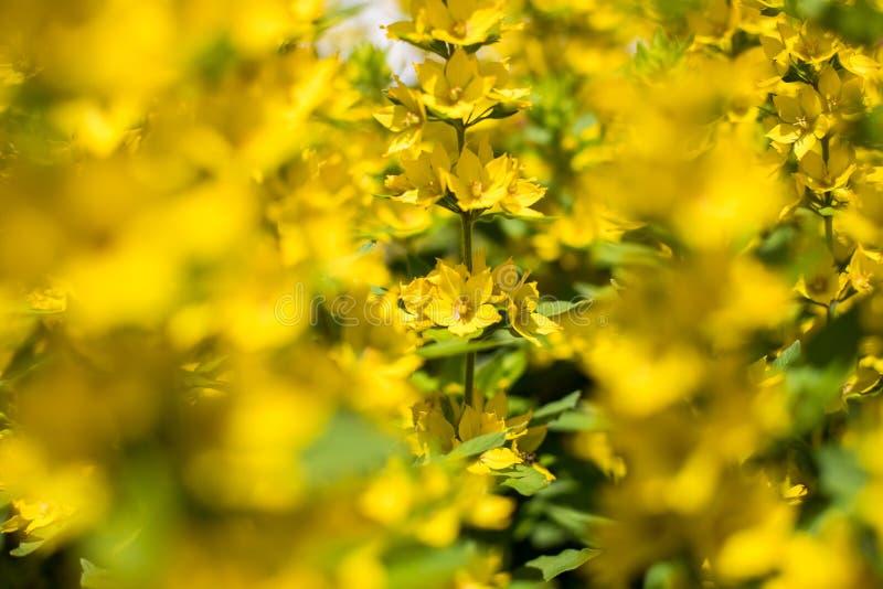 Bloemen van het Groeien van Kattestaartlysimachia Punctata Bloembed royalty-vrije stock foto's