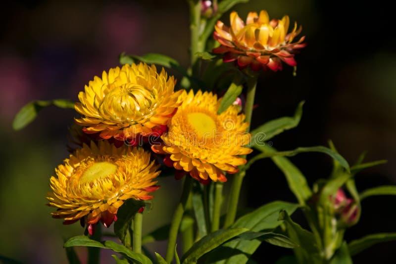 Bloemen van immortelle stock afbeelding