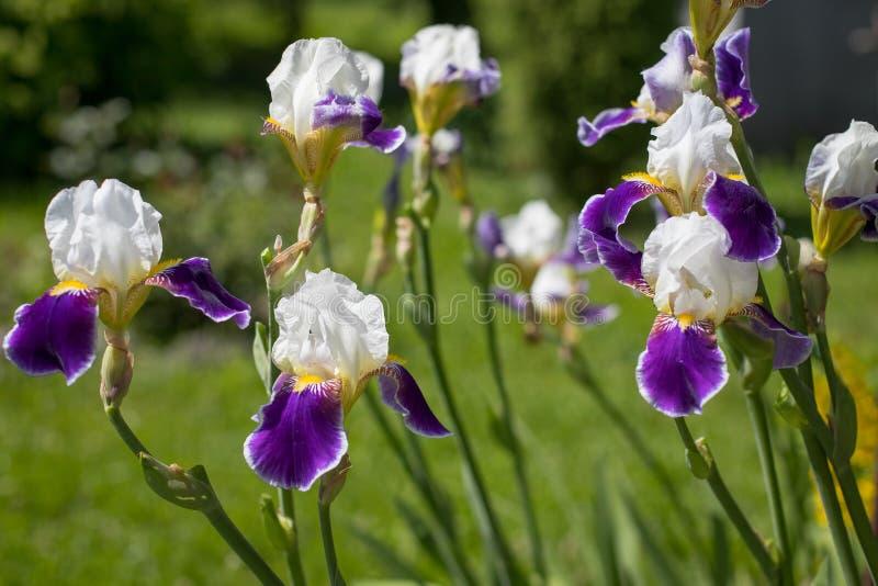 Bloemen van Iris Iris Germanica White And Violet-Kleuren het Groeien royalty-vrije stock foto