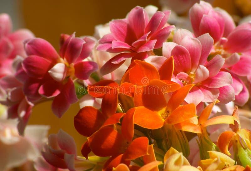Bloemen van Kalanchoe stock afbeelding
