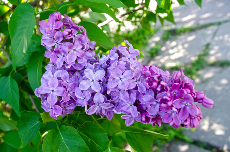 Bloemen van lilac boom royalty-vrije stock afbeelding