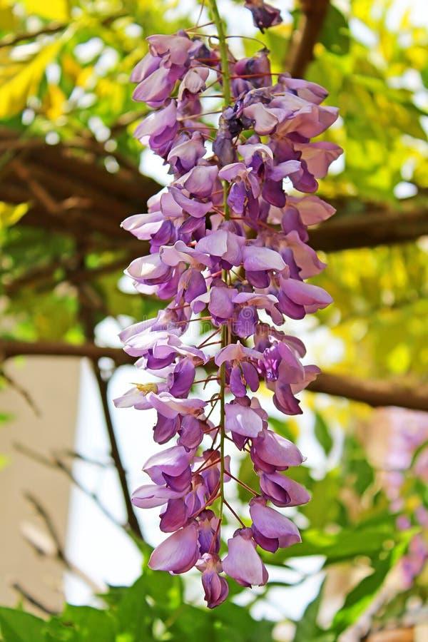 Bloemen van lilac sprinkhanenboom stock fotografie