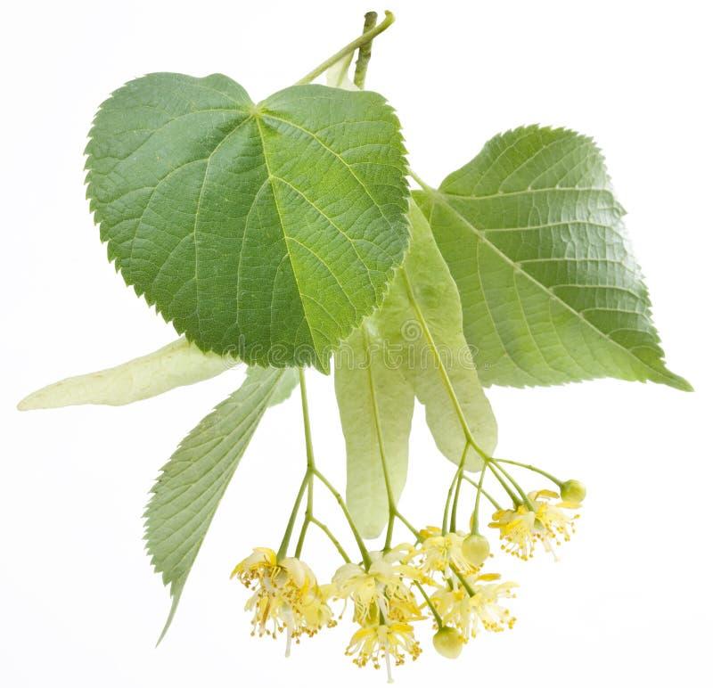 Bloemen van linde-boom stock afbeeldingen