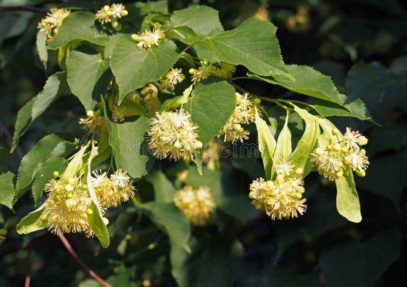 Bloemen van lindeboom royalty-vrije stock afbeelding