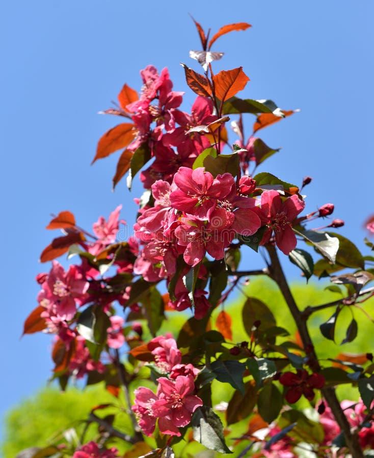 Bloemen van Malus-de appelbomen van de Royaltykrab stock fotografie