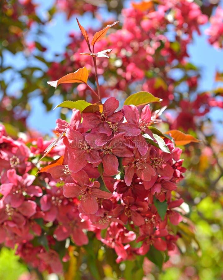 Bloemen van Malus-de appelbomen van de Royaltykrab stock foto's