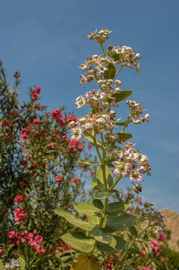 Bloemen van van Noord- giganteaidar van ruicalotropis sabarkantha Gujarat stock afbeeldingen