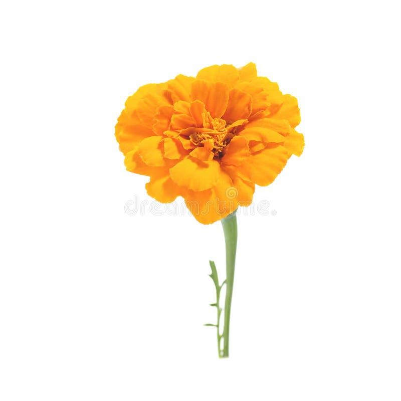 Bloemen van oranje goudsbloem op een witte achtergrond stock foto's