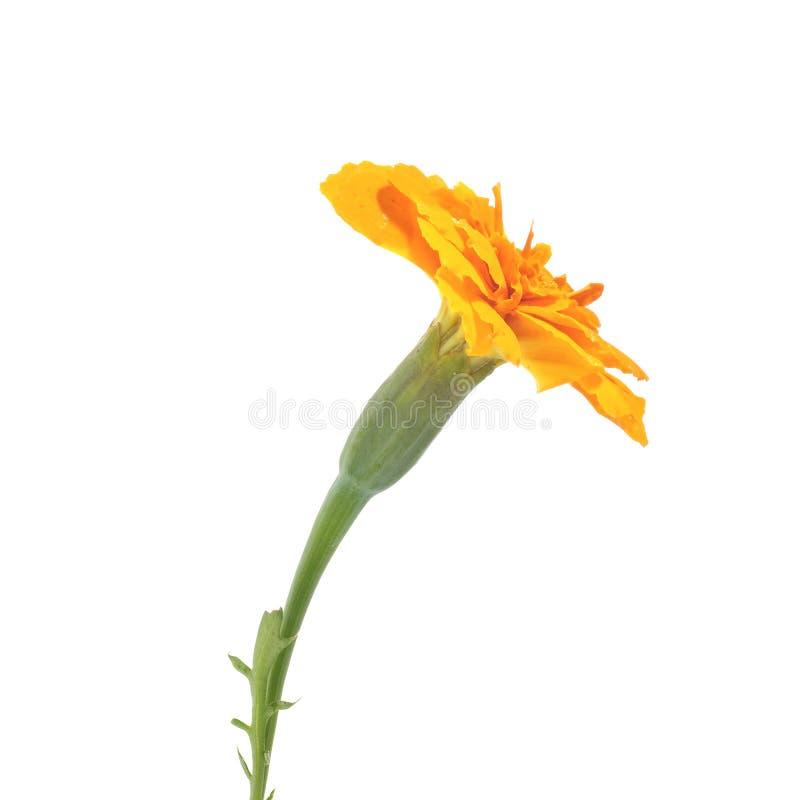 Bloemen van oranje goudsbloem op een witte achtergrond royalty-vrije stock afbeeldingen
