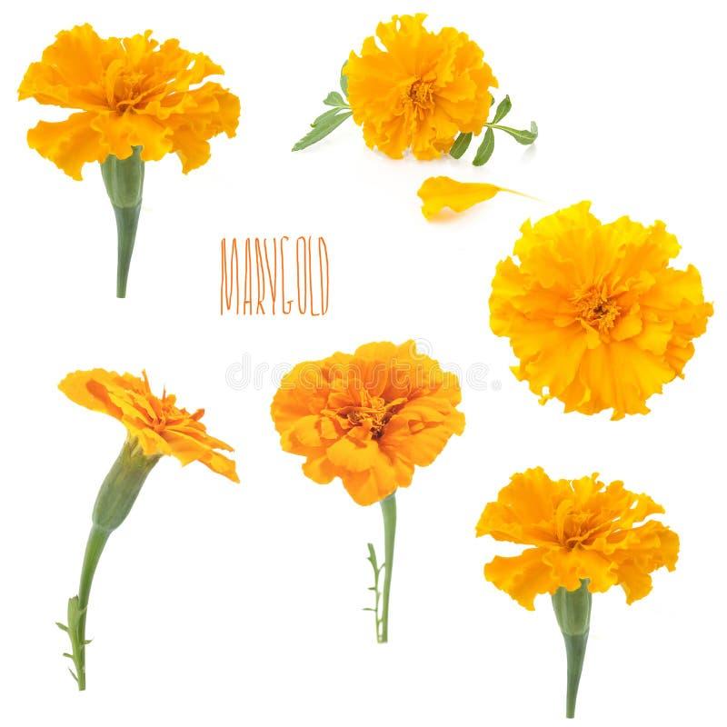 Bloemen van oranje goudsbloem op een witte achtergrond royalty-vrije stock foto