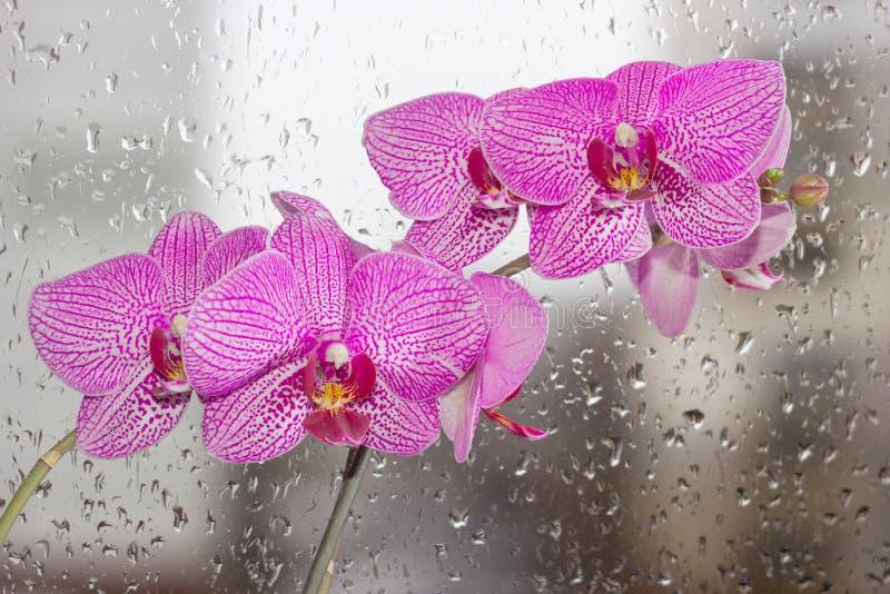 Bloemen van phalaenopsisorchidee op een achtergrondvenster met regen stock afbeelding