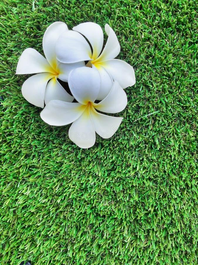 Bloemen van Plumeria op gras groene achtergrond, Leelavadee royalty-vrije stock afbeelding