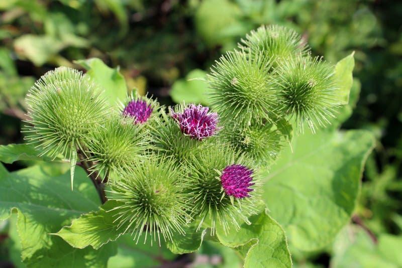 Bloemen van prikkelingen van een klis stock foto's