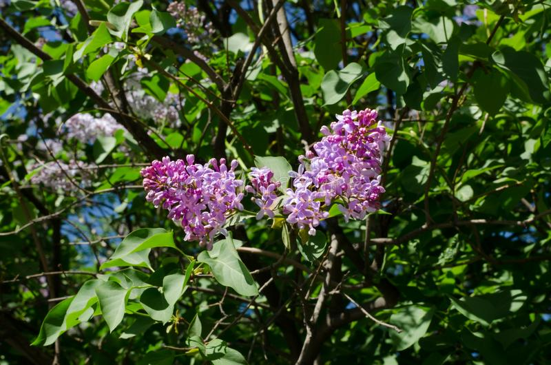 Bloemen van purpere sering tegen de achtergrond van groen gebladerte De lente royalty-vrije stock foto