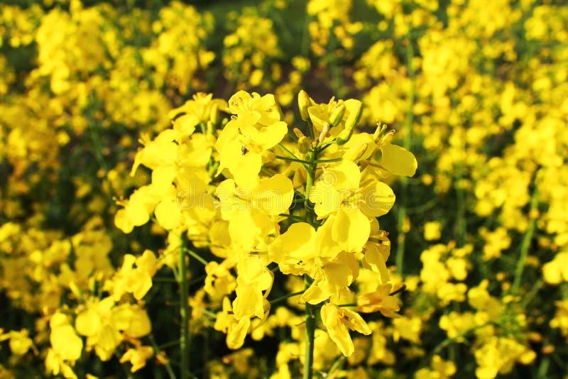 Bloemen van Raapzaad stock foto