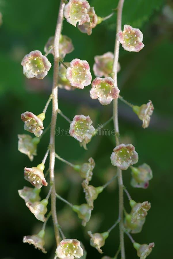 Bloemen van rode aalbes stock foto's