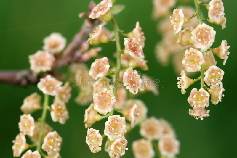 Bloemen van rode aalbes stock foto