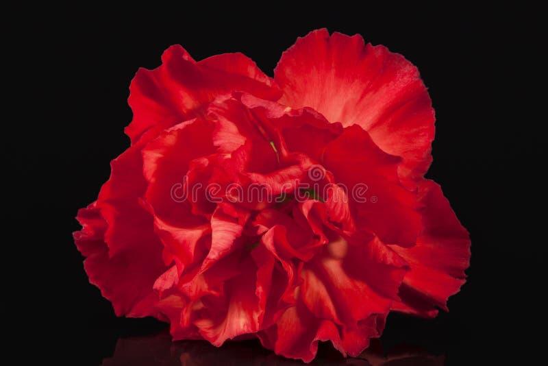Bloemen van rode die anjer op zwarte achtergrond wordt geïsoleerd royalty-vrije stock afbeeldingen