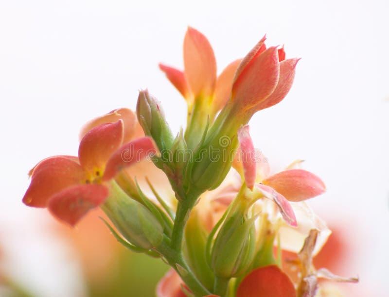 Bloemen van rode kalanchoe (hoog sleutel) royalty-vrije stock afbeelding