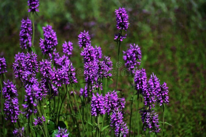 Bloemen van Stachys Officinalis in de tuin royalty-vrije stock foto