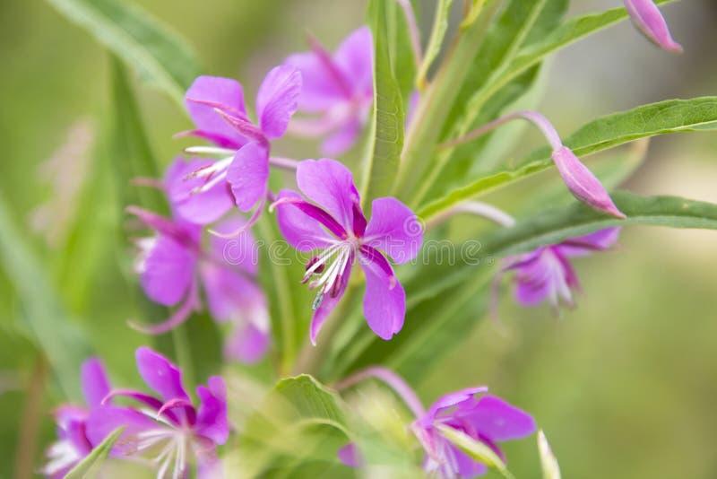 Bloemen van wilgeroosje stock foto