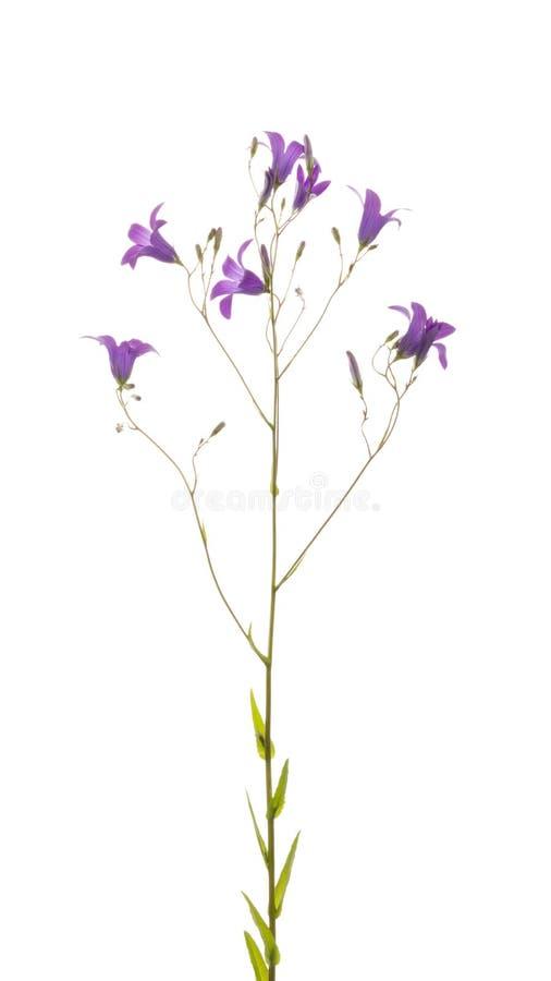 Bloemen wilde lilac-purpere klok royalty-vrije stock fotografie