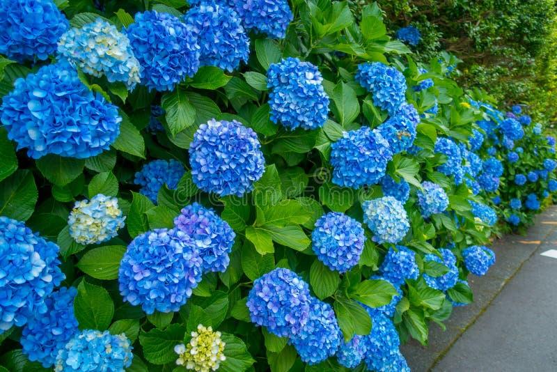 Bloemen in wit en blauw, Hortencias, bloesem bij Hakone-stad in Japan stock afbeelding