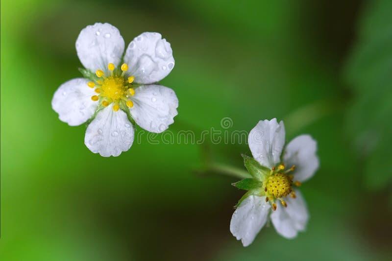 Bloemenaardbeien na de regen Twee bloemen van aardbei op een vage groene achtergrond Greens na regen, bokeh, macro stock foto