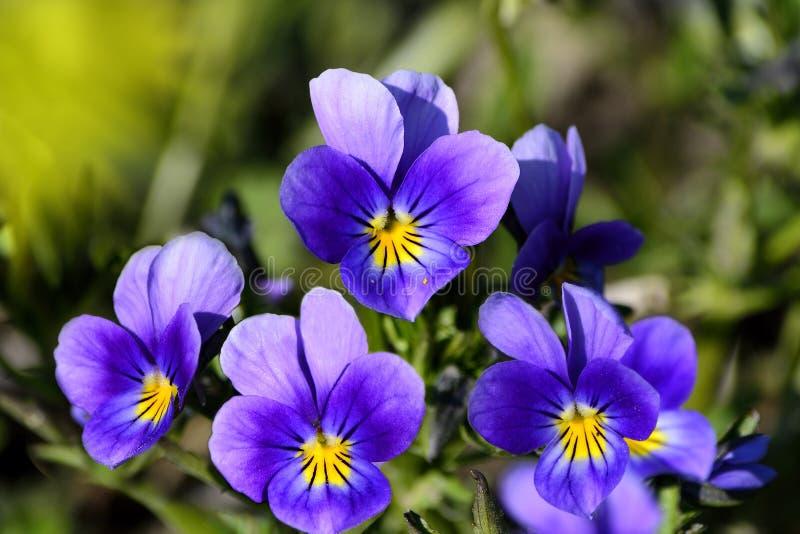 Bloemenachtergrond met wilde viooltjes stock foto