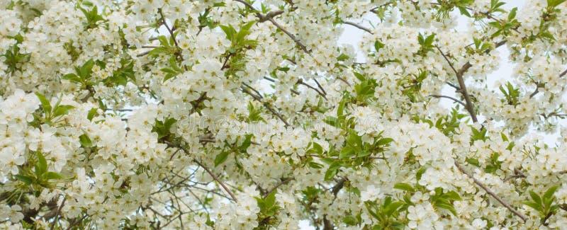 Bloemenachtergrond, mooie bloeiende kersenboom stock foto's