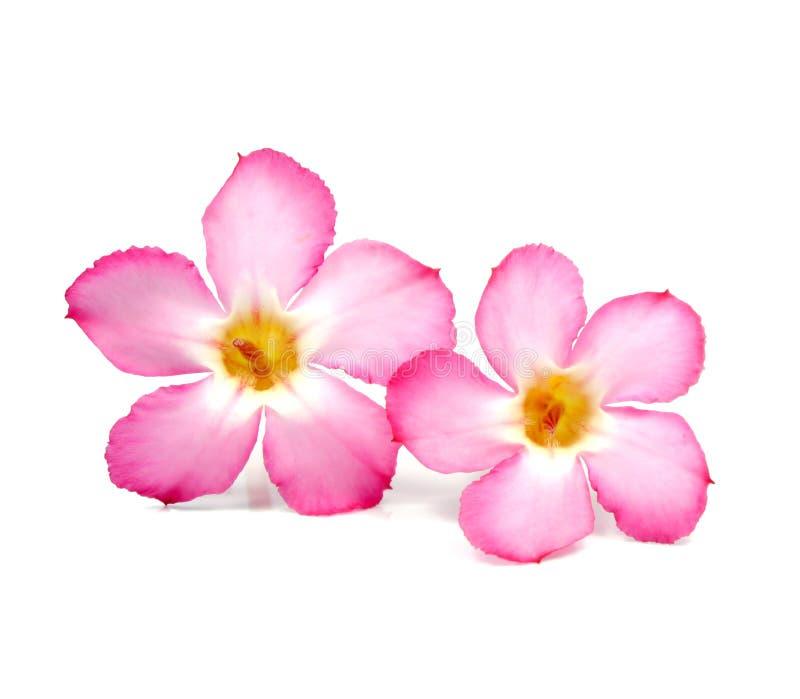 Bloemenachtergrond. Sluit omhoog van Tropische bloem Roze Adenium royalty-vrije stock afbeelding