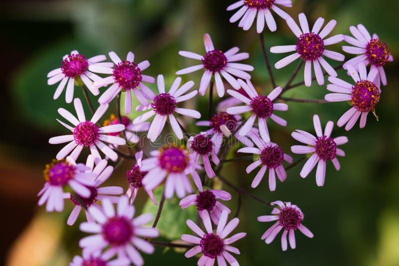 Bloemenachtergrond van violette wilde webbii van bloemenpericallis royalty-vrije stock foto