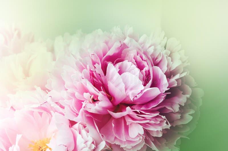 Bloemenbehang, achtergrond van bloembloemblaadjes De tendens kleurt roze en groen Schoonheidspioen, pioenen, rozenbloemen De bloe stock fotografie