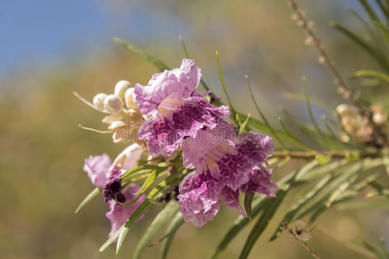Bloemenboombloemen bij het Domein van het Depotmojave van Kelso royalty-vrije stock afbeelding