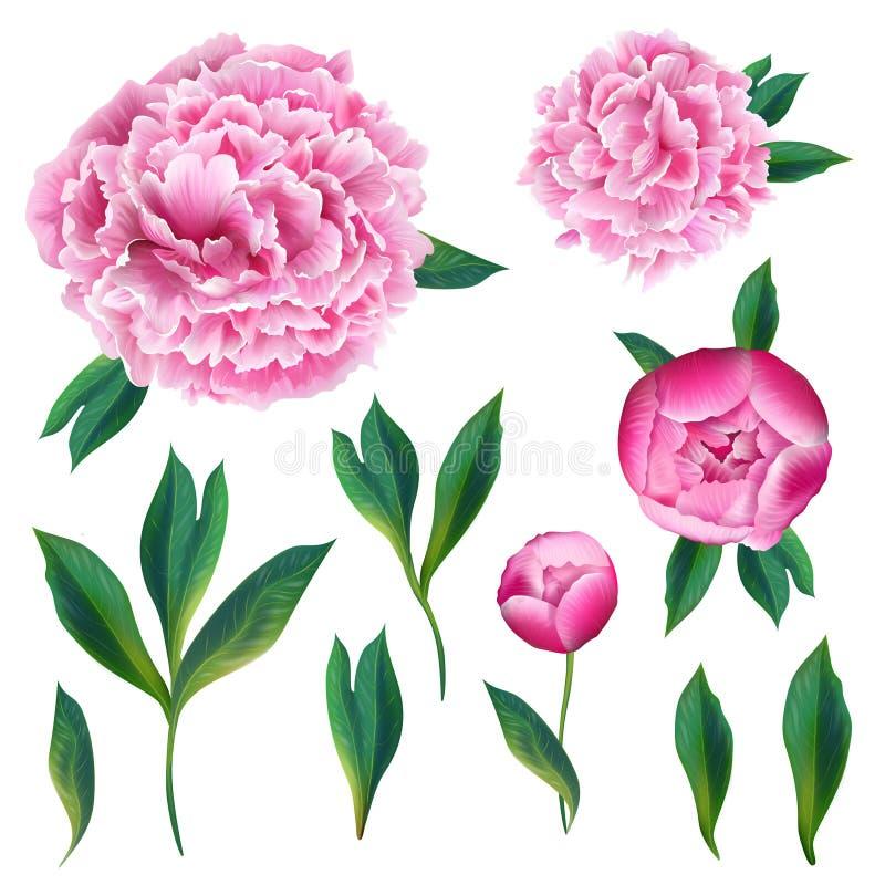 BloemendieElementen met Roze Bloeiende Pioenbloemen, Bladeren en Knoppen worden geplaatst Hand Getrokken Botanische Flora voor De stock illustratie