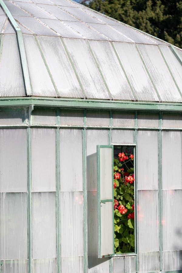 Bloemendievertoningen door een open venster in de Geraniumgalerij bij de Koninklijke Serres in Laeken, Brussel België worden beke stock afbeeldingen