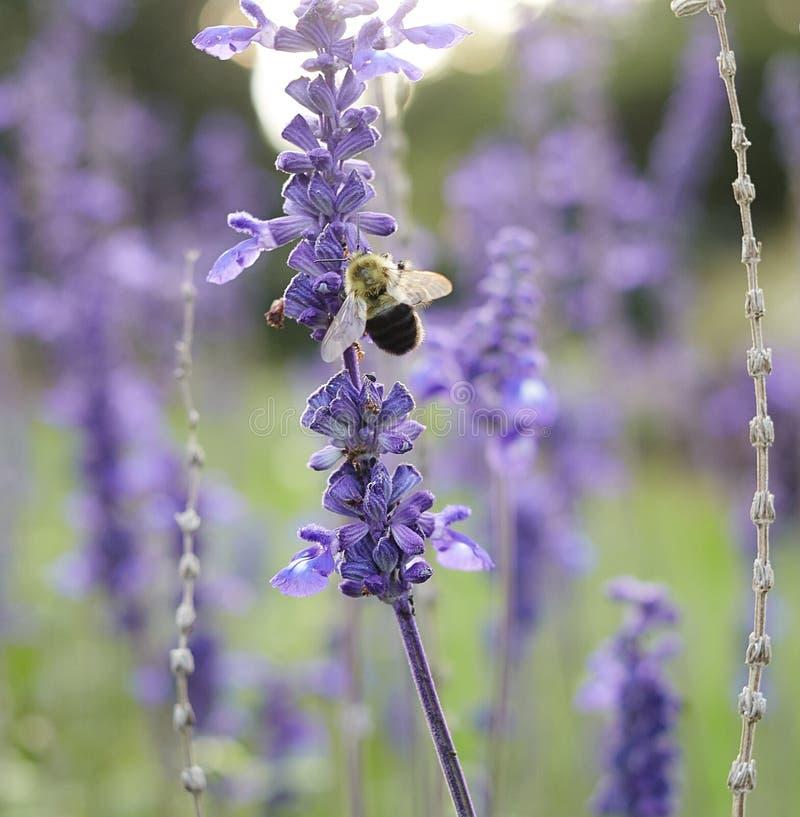 Bloemenhommel die Als achtergrond purpere bloemen eten stock foto's