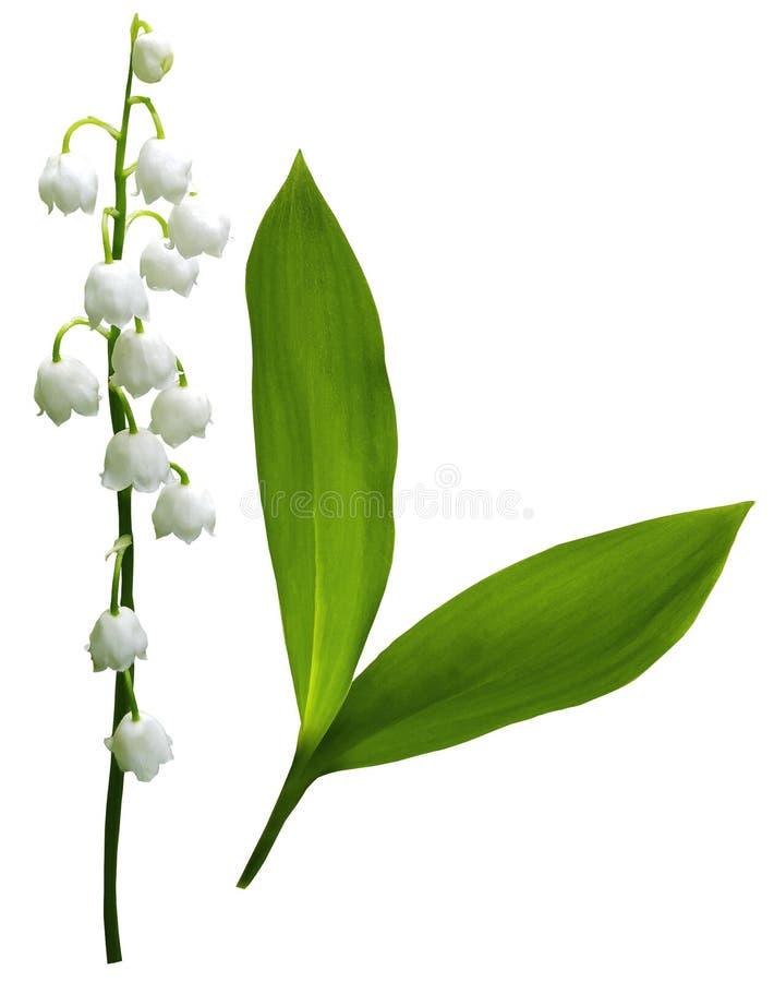 Bloemenlelietje-van-dalen op een wit geïsoleerde achtergrond met het knippen van weg Geen schaduwen close-up stock afbeeldingen