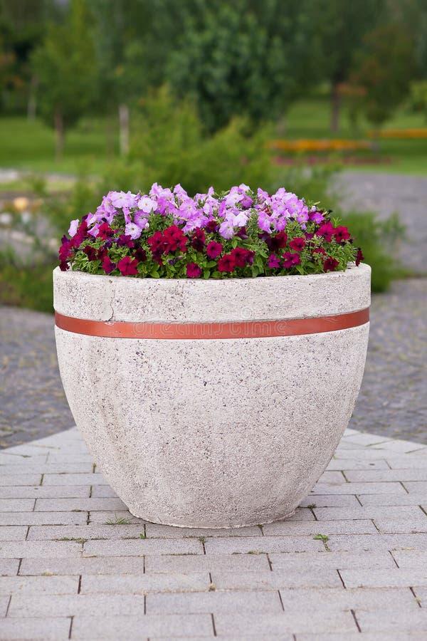 Bloemenpetunia in een grote pot op parkachtergrond stock afbeelding