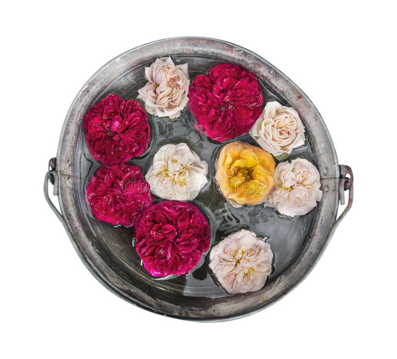 Bloemenrozen in geïsoleerde emmer water, royalty-vrije stock afbeelding