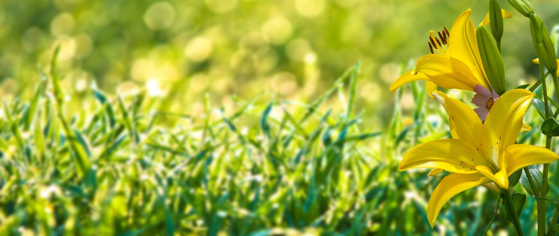 bloementuin, zomer Lelie Ontmoete Bolvormigeinstallatie een rechte stenge stock foto