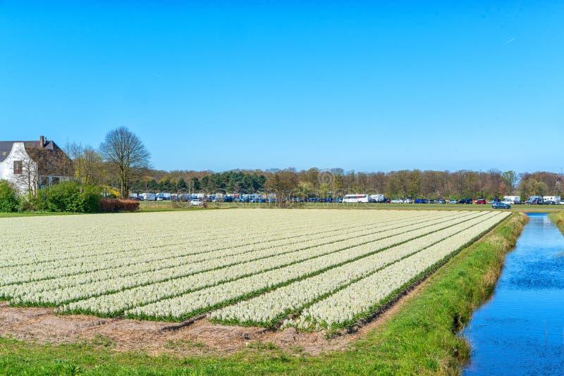 Bloemgebieden van multicolored hyacinten langs het kanaal in het noordelijke deel van Holland, in stock afbeeldingen