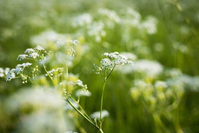 Bloemgras van het Groeien van Achillea Achillea Millefolium op Meado royalty-vrije stock afbeeldingen