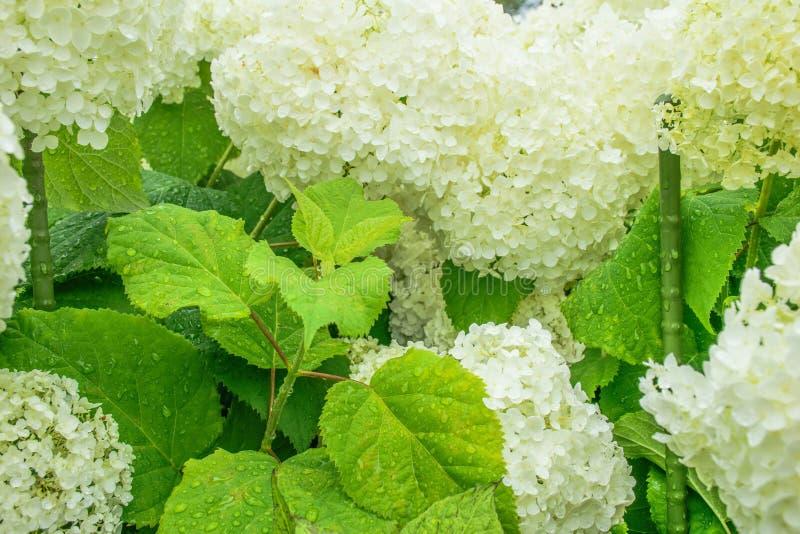 Bloemhydrangea hortensia royalty-vrije stock fotografie