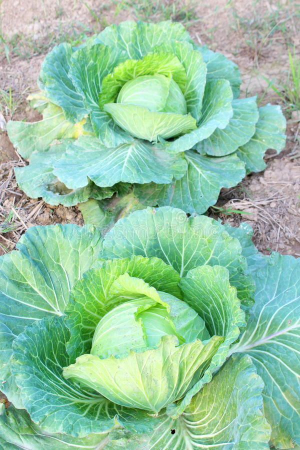 Download Bloemkool stock foto. Afbeelding bestaande uit landbouwbedrijf - 29514158
