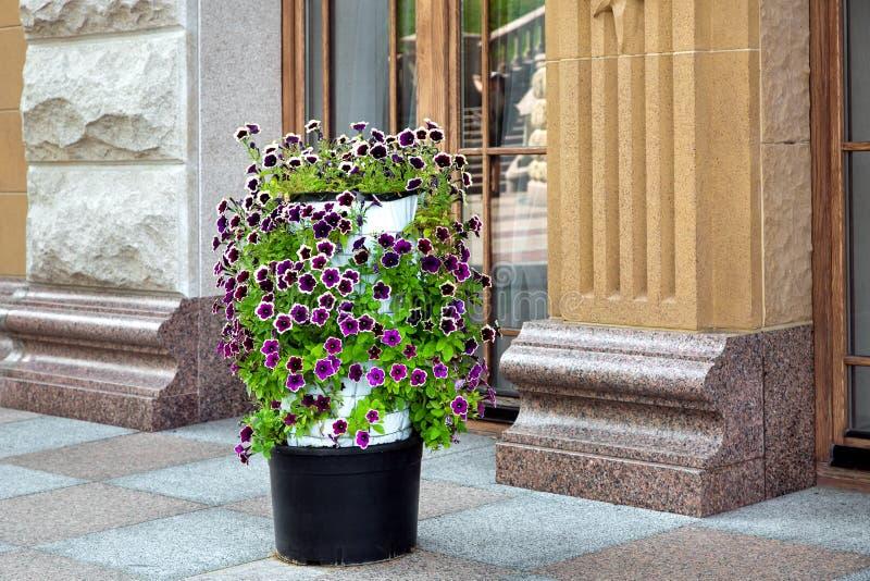 Bloempot met een bloeiende petuniabloem op de stoep stock foto's
