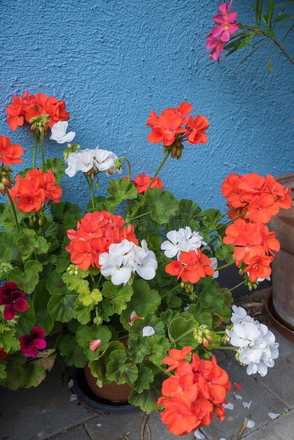 Bloempot met rode en witte geraniuminstallaties stock foto's