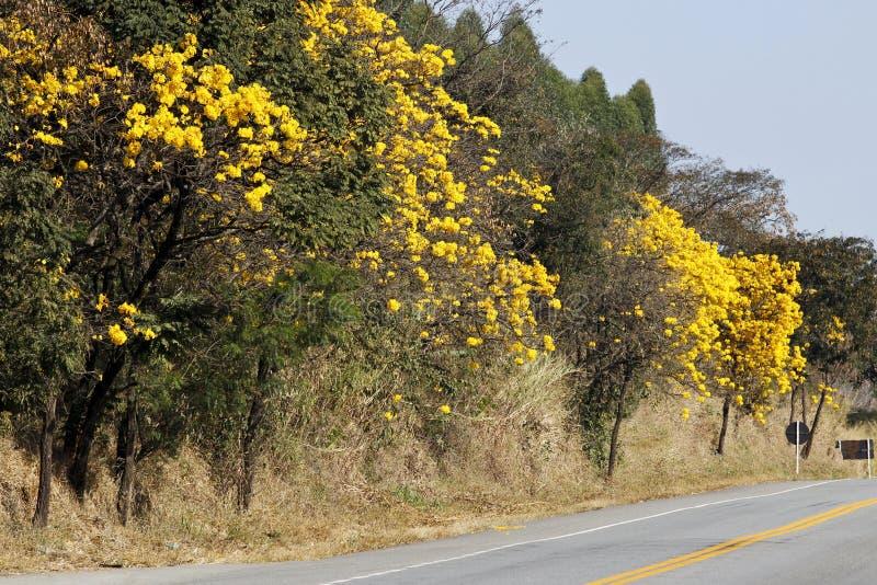 Bloemrijke gele ipe boom op de weg stock fotografie