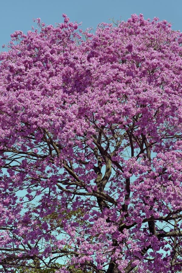 Bloemrijke roze ipe onder de wolkenloze blauwe hemel royalty-vrije stock fotografie